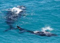 Биологи услышали шепот гладких китов