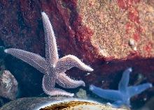 Аналог окситоцина заставил морскую звезду вывернуть желудок
